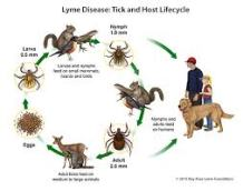 Lyme Cycle